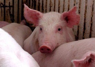 Human Pancreases to Grow in Pigs
