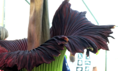 The Corpse Flower is a Late Bloomer and Reeks of Death, Say Happy Botanists