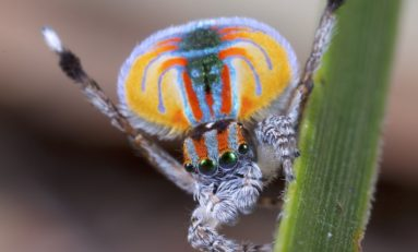 Peacock Spider Dances Its Way Into Our Arachnophobic Hearts