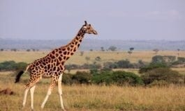 Giraffe joins list of species that are 'vulnerable to extinction'