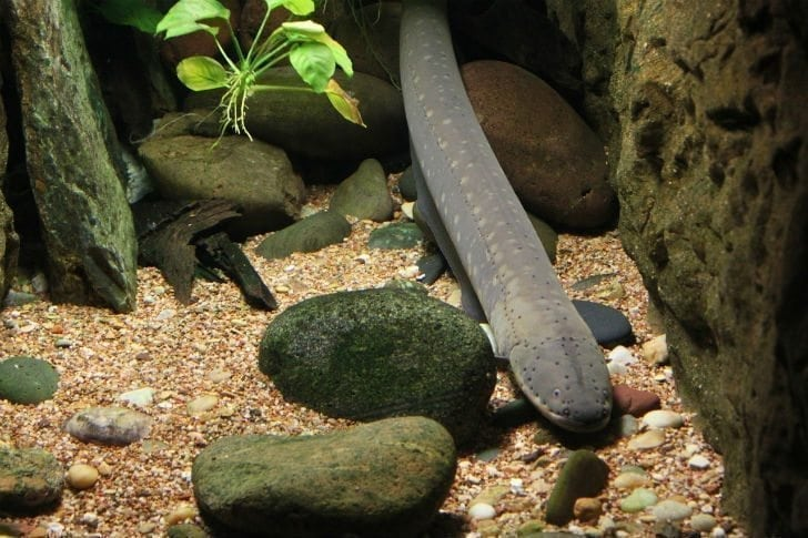 Scientist Purposely Shocked By Electric Eel