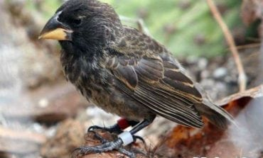 The Finch That Lost Its Way … And Started Its Own Species