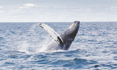 Trump's Next Legal Conundrum: Drill for Oil or Save the Whales