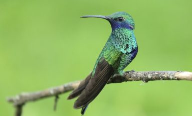 Why Tropical Hummingbirds Swordfight With Their Faces