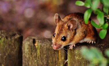 Quick Bytes: Rodent Regret, Armadillo Dinners, and Cocoa Currency