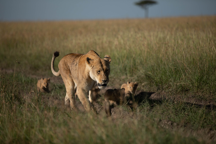 born wild the next generation lion national geographic