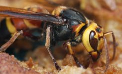 Murder Hornets Are Here. Should You Be Concerned?