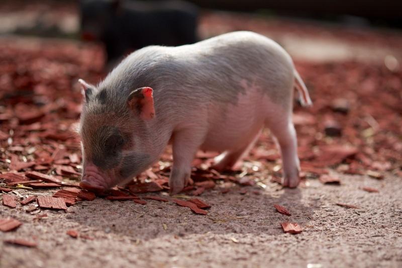 nature-farm-cute-wildlife-pet-food-830382-pxhere.com